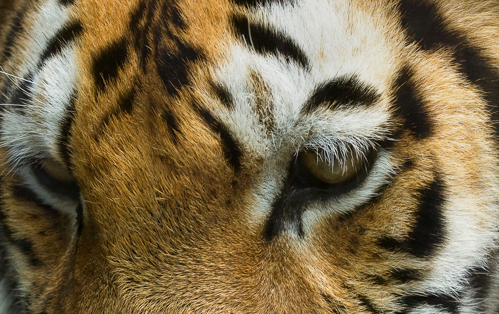 All World's Tigers Extinct in 15-20 Years Without Better Conservation Efforts