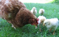 chickens-feature