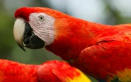 Endangered Guacamayas have champions in Mexico