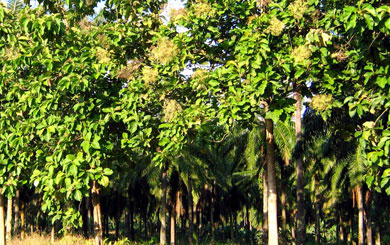 Reforestation with teak– a twenty year investment in environment and your finances.