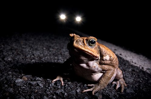 Solutions to the Cane Toad Plague?