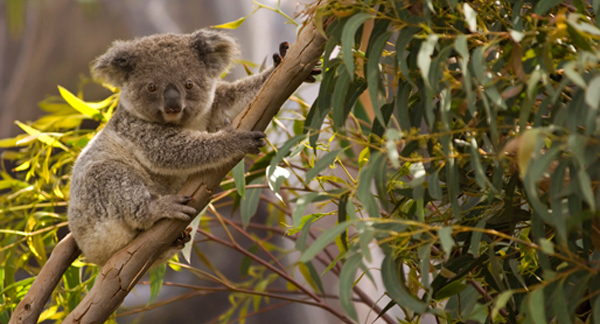 Koala Tracker: Project Location