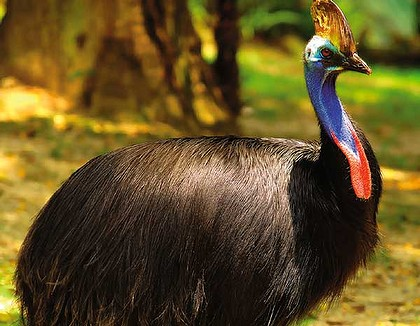 Australia's Cassowary feared to vanish!