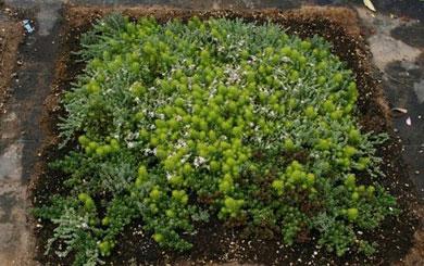 Succulent Lawn