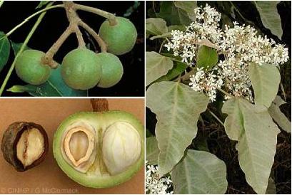 The Candle nut.  A versatile fruit.