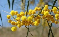 Indigenous ingredient of the month – Wattleseed