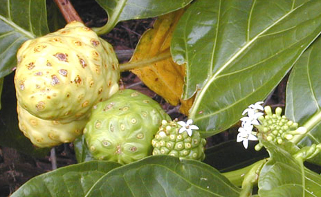 Indigenous Ingredient of the Month – Noni