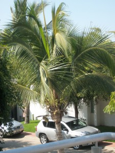 Never, never park under a fruiting coconut palm!