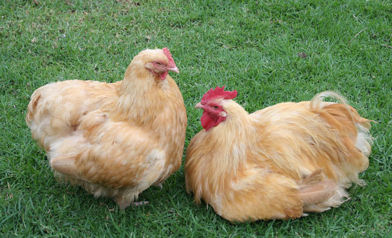 ChookTrader is here to help buy and sell poultry and poultry equipment!