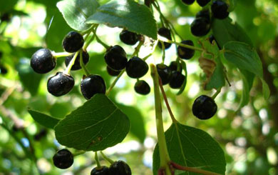 Indigenous ingredient of the month – Maqui berry