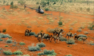 Helicopters have been used to muster feral camels. Source: Hans Boessem