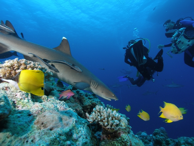 White tipped reef shark credit Undersea Explorer
