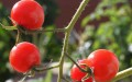 cherry-tomatoes-feature