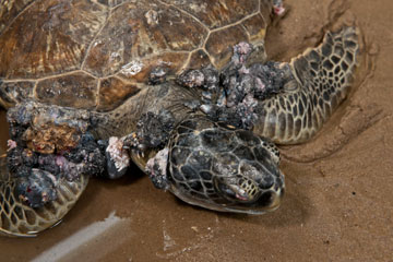 A terrible, deforming virus The Fibropapilloma virus (FP) is a silent killer affecting turtle populations, especially green turtles