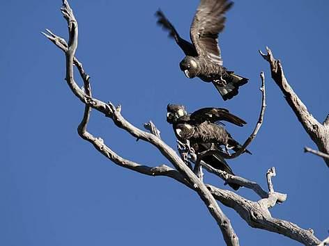 Baudin's black cockatoos. © Simon Cherriman