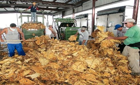 Tobacco can be used as a natural pesticide which is good news for farmers who have seen sales drop due to public health concerns. (Photo credit: The Goldsboro News-Argus)