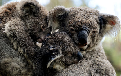 The Vulnerable Koala: are we in time to save our national icon?