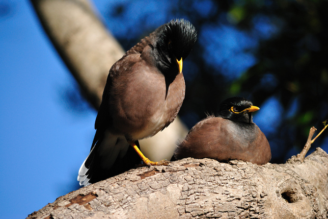 We love to hate the common myna, but what should we do about it?